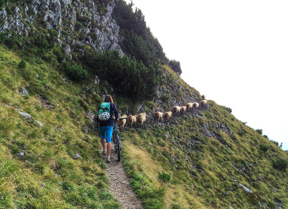 Mountainbike, Bikebergsteigen, Schafherde